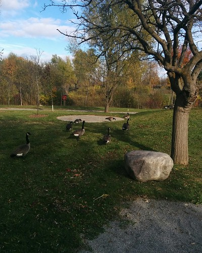 Geese in the zoo #toronto #torontozoo #geese #canadageese #birds #latergram