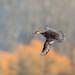 Hooded Merganser, Carnation, WA by vickie_s