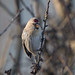 Coues's Arctic Redpoll 7-1-18 Hazelwood Common Suffolk_F8A3305