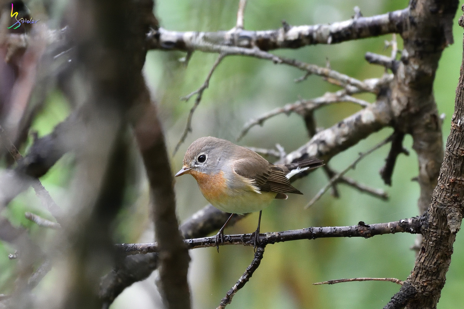 Red-breasted_Flycatcher_9513