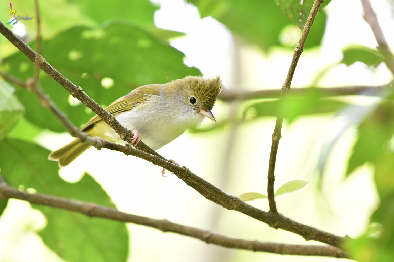 White-bellied_Yuhina_0312