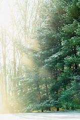 244 Pine Trees (oilish)