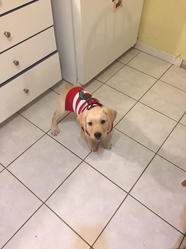 Duke in Christmas sweater