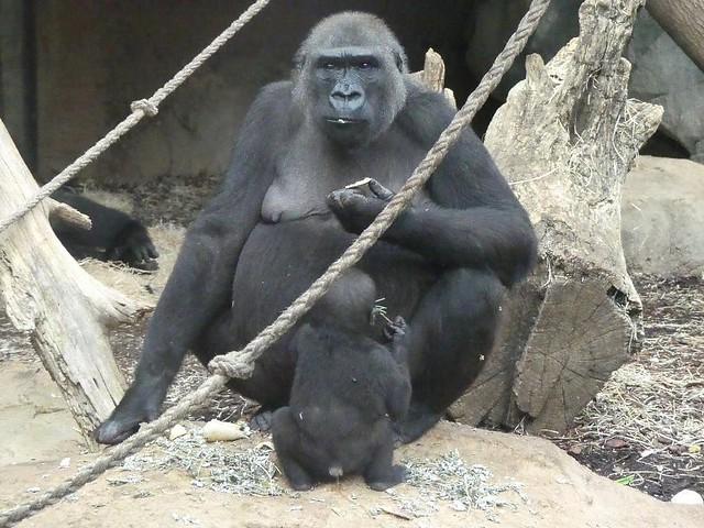 Gorilla Dian und Xetsa