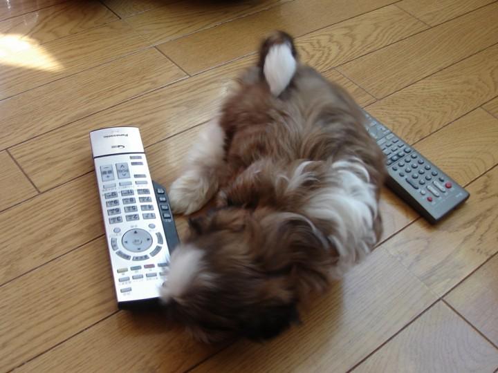 シーズー生後2か月の子犬をテレビのリモコンと比較