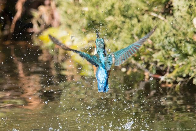 20171225-kingfisher-DSC_2704