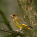 Greenfinch  Calke