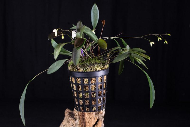 Miniatur-Orchideen Teil 4 - Seite 5 27290515309_254bb40c9f_c