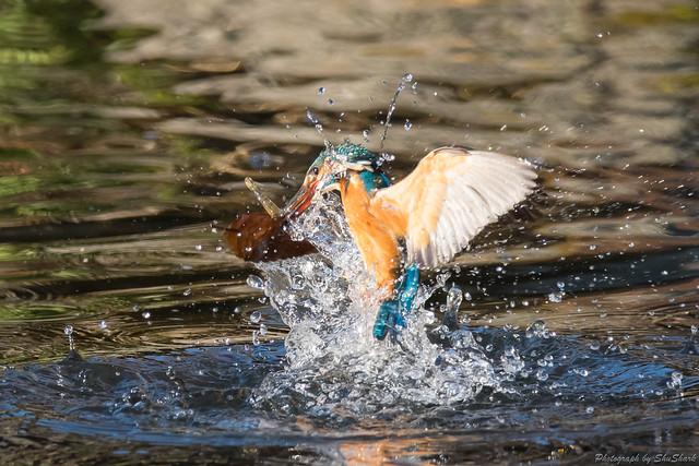 20171223-kingfisher-DSC_1229