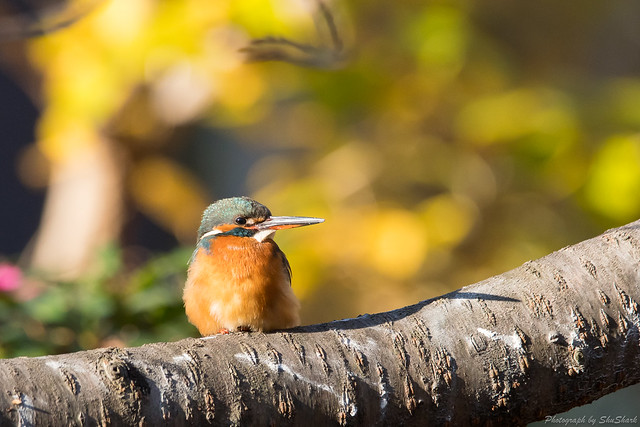 20171229-kingfisher-DSC_2936
