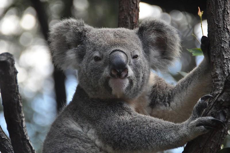 koala-843306_1920