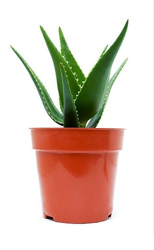 Top 5 House Plants - Aloe Vera