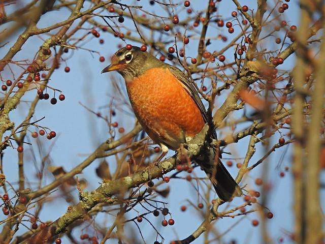 DSCN0052 Robin & Hackberries