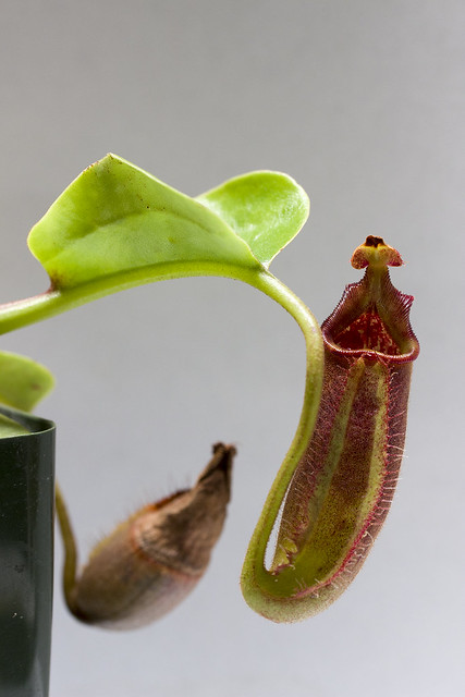 Nepenthes robcantleyi tc