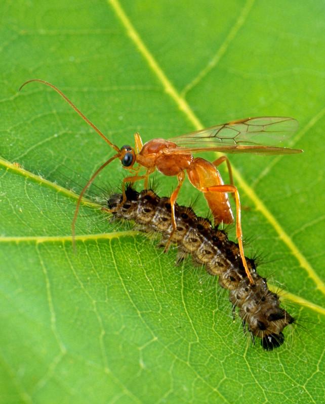 Figure 2 Aleiodes_indiscretus_wasp