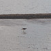 SWCP: River Taw & Curlew