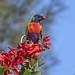 rainbow lorikeet on the cockspur coral by Fat Burns ☮ (gone bush)