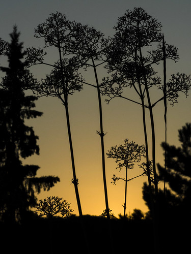 deerhurstresort muskoka summertime flowers trees silhouettes sunset gold 8010162 raw processed lr612
