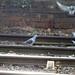 Feral Pigeons, Railway Station, Hereford 20 December 2017