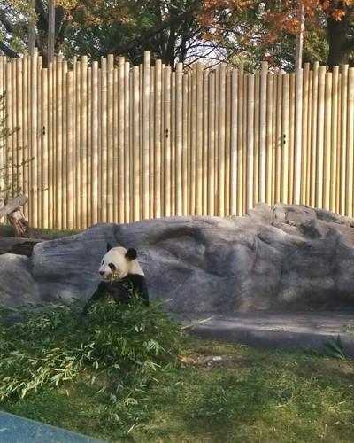 Da Mao (1) #toronto #torontozoo #pandas #giantpandaexperience #damao #bamboo #latergram