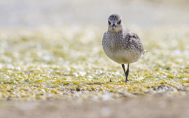 Black-bellied Plover, Canon EOS 5D MARK III, Canon EF 400mm f/5.6L