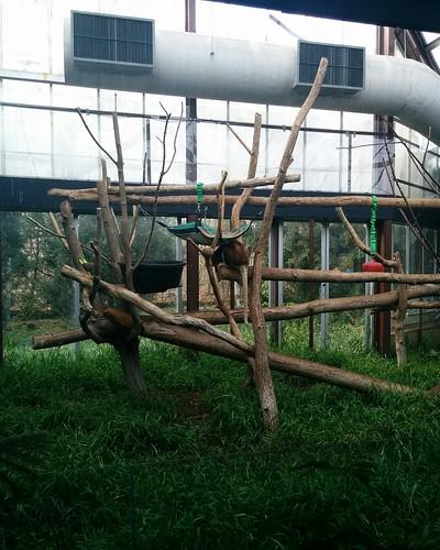 Matschie's tree kangaroo #toronto #torontozoo #kangaroo #matschiestreekangaroo #latergram