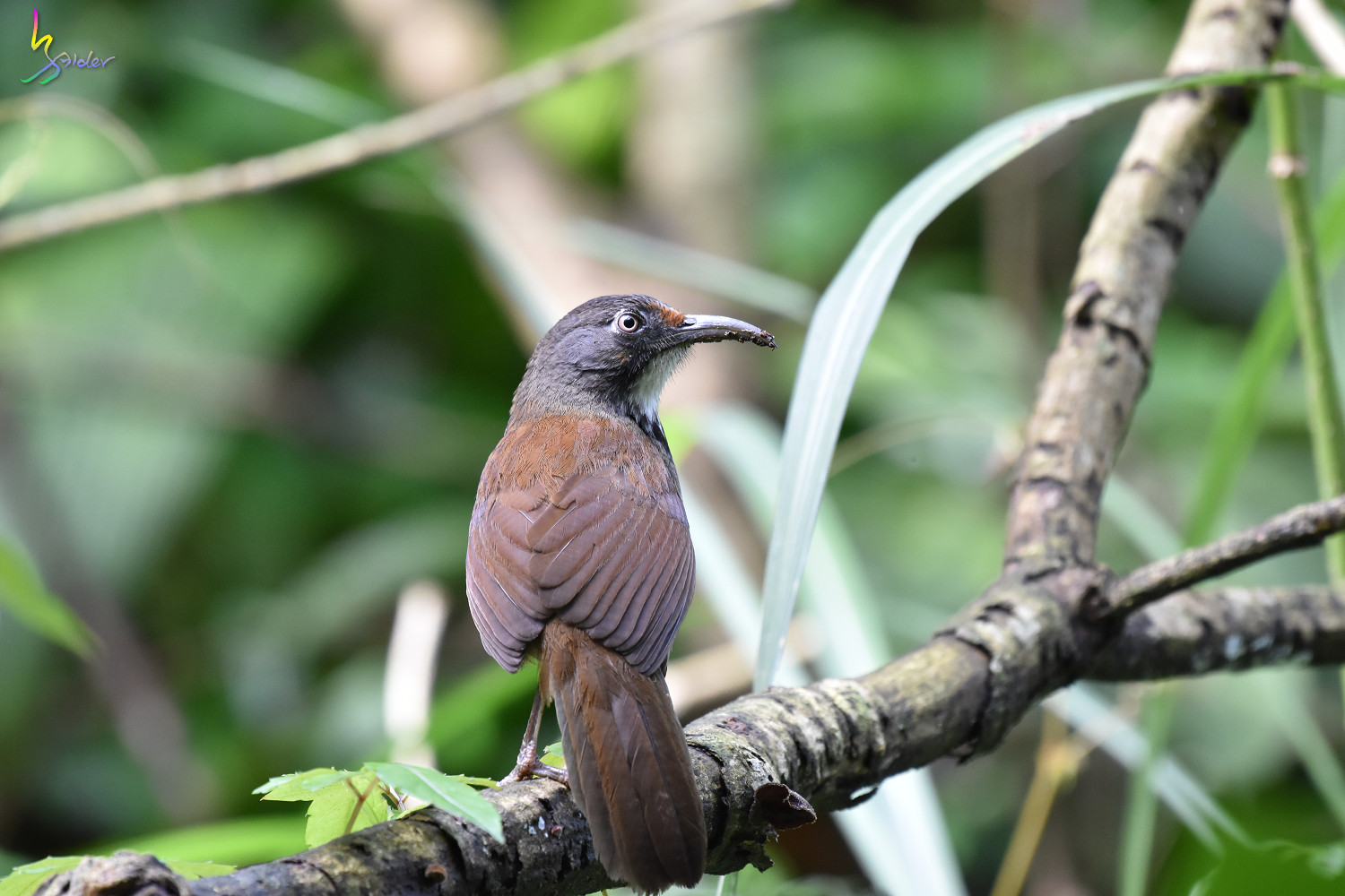 Rusty-cheeked_Scimitar-Babbler_0620