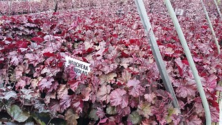 Heuchera Beaujolais 2 gal | by Johnson Farms