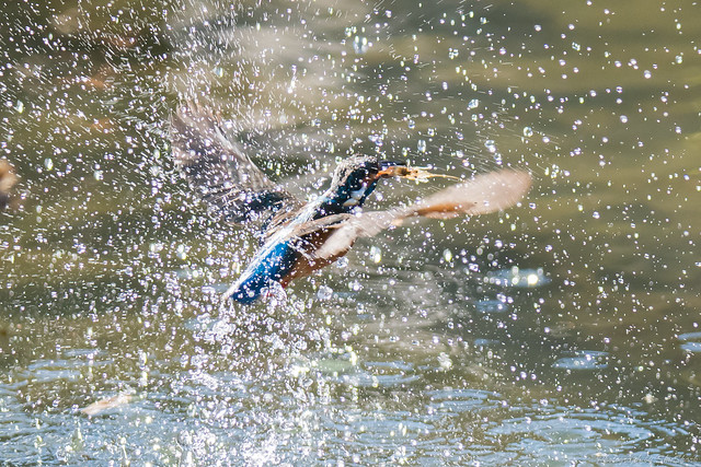 20171225-kingfisher-DSC_2740