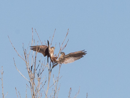 kestrel_falcon_pair_mating_20171227_219