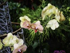 Phalaenopsis orchid, courtesy of Dusan Baksa! Thank you, thank you