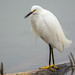 Small photo of Snowy Egret in Almaden lake Park