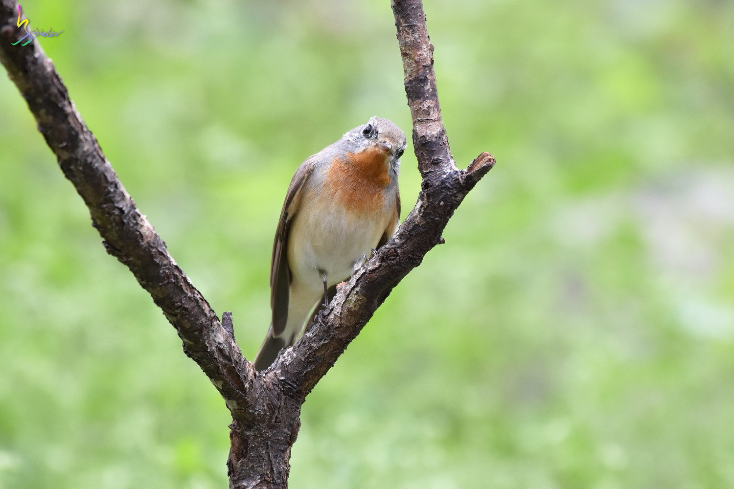 Red-breasted_Flycatcher_1112
