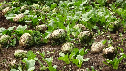 Cabbages on the EBC route