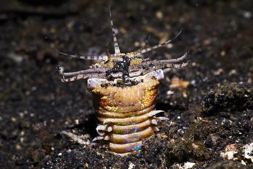 Bobbit Worm - 1