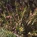 Small photo of Leather fern, Acrostichum danaeafolium. Corkscrew