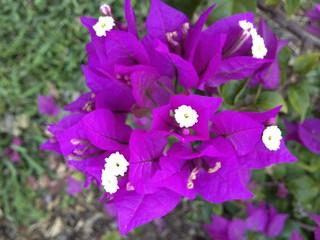 Bougainvillea Lilac