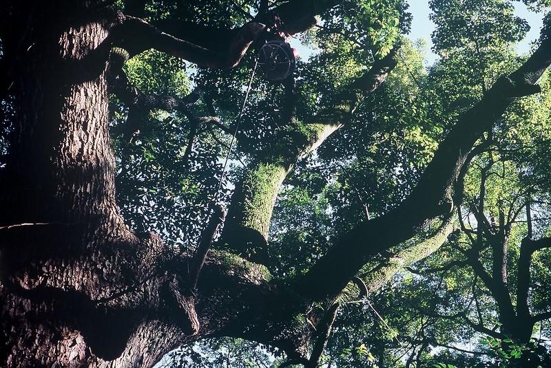 KONICA HEXAR RF+Voigtlander Color Scopar 35mm f2.5根津神社の苔生した大樹