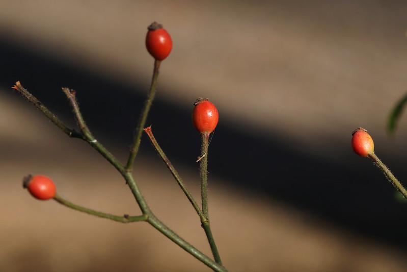 Rosa multiflora  ノイバラ(実)
