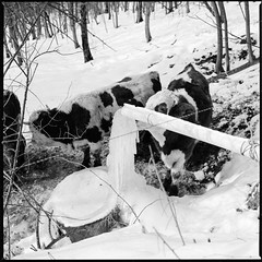 Frozen cows