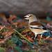 Hawfinch (Coccothraustes coccothraustes) - nr. Shrewsbury, Shropshire, UK.