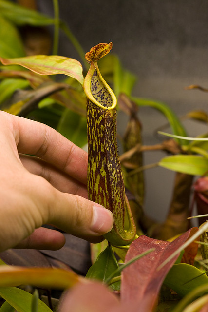 Nepenthes copelandii Apo tc