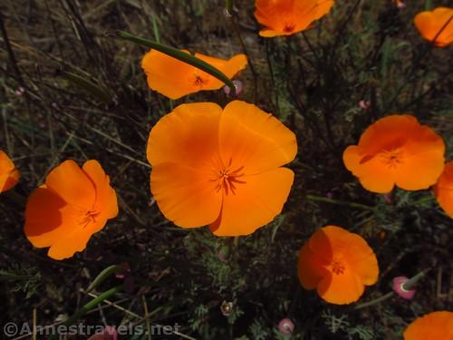 Orange California Poppies along the Coastal Trail south of Glass Beach, California