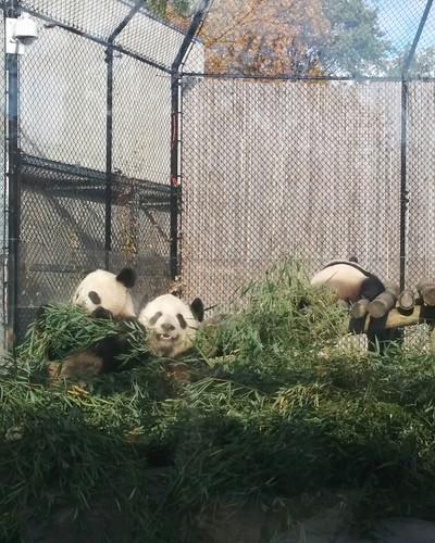 Er Shun, Jia Panpan, Jia Yueyue (2) #toronto #torontozoo #pandas #giantpandaexperience #ershun #jiapanpan #jiayueyue #latergram