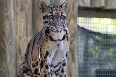 Clouded Leopard Sitting