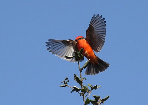 Vermilion flycatcher landing