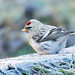 Coues's Arctic Redpoll-7157