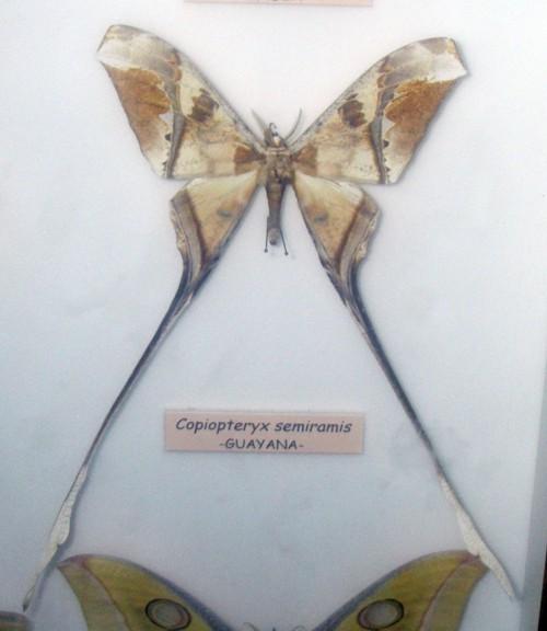 Copiopteryx semiramis 39416980232_9e16952c79_o