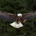 Eagle - Canadian Raptor Conservancy by Rich Parkinson