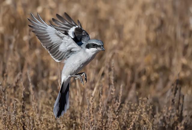 Loggerhad shrike aka The Butcher Bird